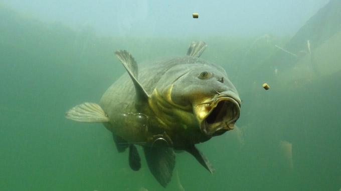 © 55PLUS Medien GmbH, Wien / Modra, CZ - Süsswasser-Aquarium_gefrässiger Karpfen / Zum Vergrößern auf das Bild klicken