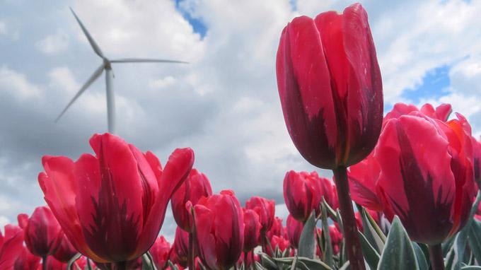 © Tourisme Flevoland / Flevoland, NL - Tulpen mit Windrad / Zum Vergrößern auf das Bild klicken
