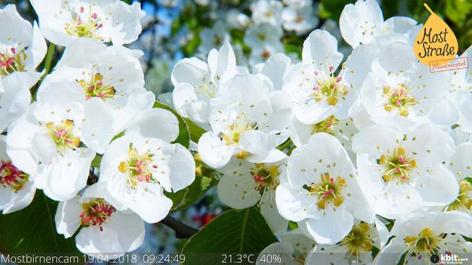 © Mostviertel Tourismus / Mostviertel, NÖ - Birnbaumblüten_webcam / Zum Vergrößern auf das Bild klicken