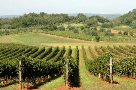 Umag, Kroatien - Winzer Coronica Moreno: Weinberge