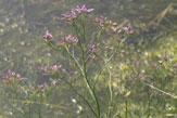 Saline, Blume / Zum Vergrößern auf das Bild klicken