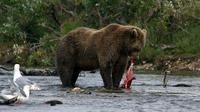 © Anita Arneitz, Klagenfurt / Katmai-Nationalpark, Alaska- Lachsfischen / Zum Vergrößern auf das Bild klicken