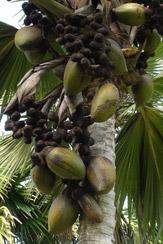 © 55PLUS Medien GmbH, Wien / Coco de Mer, Seychellen - Früchte und Blüten / Zum Vergrößern auf das Bild klicken
