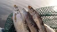 © Kärnten Werbung / Fische vom Millstätter See, Kärnten / Zum Vergrößern auf das Bild klicken