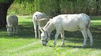 © 55PLUS Medien GmbH, Wien / Burgenland-Safari - Weisse Esel / Zum Vergrößern auf das Bild klicken