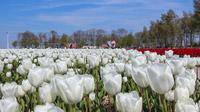 © Tourisme Flevoland / Flevoland, NL - Tulpenfeld / Zum Vergrößern auf das Bild klicken