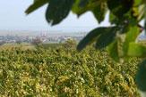 Weingut Esterházy - Weinberge / Zum Vergrößern auf das Bild klicken