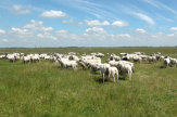 © 55PLUS Medien GmbH / Wesselburener Koog, Deutschland - Geschorene Schafe / Zum Vergrößern auf das Bild klicken