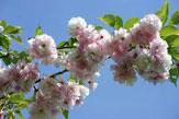 55PLUS Kirschblüten / Zum Vergrößern auf das Bild klicken
