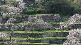 © Donau Niederösterreich / Othmar Bramberger / marillenblüte in St. Johann im Mauerthale, Wachau / Zum Vergrößern auf das Bild klicken