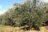 Olivenbäume in Istrien, Kroatien / Zum Vergrößern auf das Bild klicken