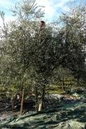 Olivenernte mit dem Rechen, Istrien, Kroatien / Zum Vergrößern auf das Bild klicken