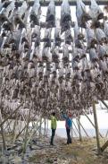 Stockfisch, Lofoten - © CH//Innovation Norway / Zum Vergrößern auf das Bild klicken