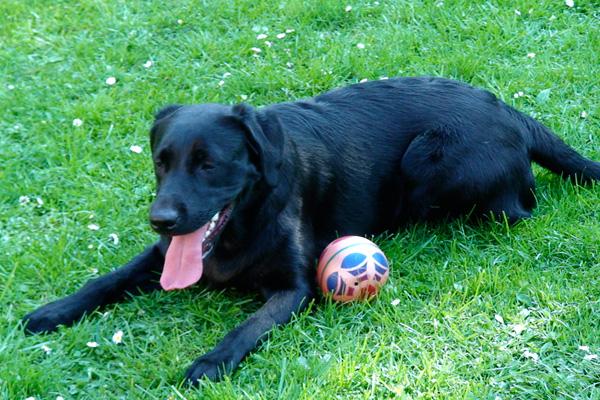Labrador-Hund Carey