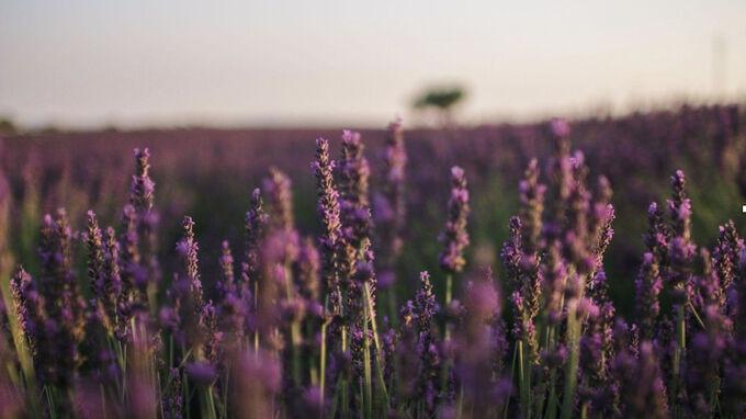 Provence, Frankreich - Lavendel
