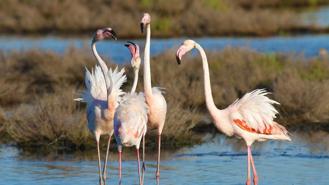 © Roberto Maggioni / Po-Delta, Italien - Flamingos / Zum Vergrößern auf das Bild klicken