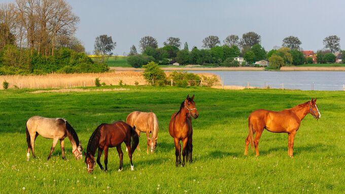 Insel Poel, DE - Pferde auf einer Wiese