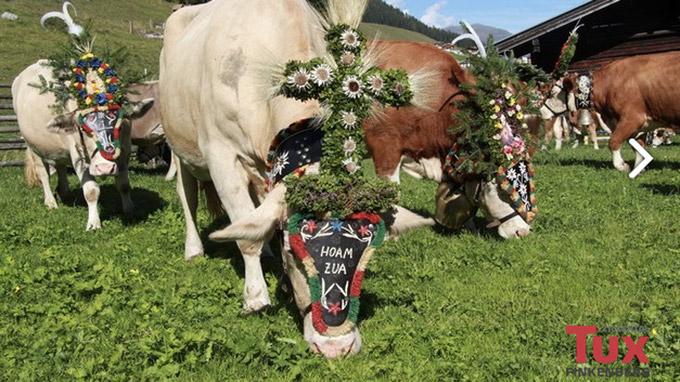© Archiv Tourismusverband Tux-Finkenberg / Tux-Finkenberg, Tirol - Kühe auf Alm / Zum Vergrößern auf das Bild klicken