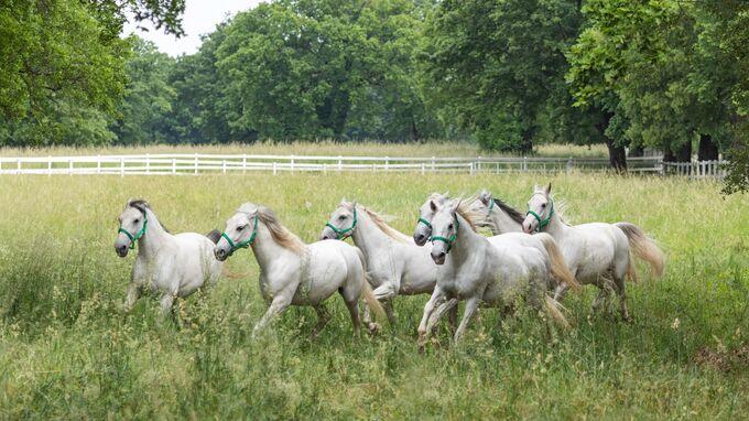 Karst, Slowenien - Lipica_Weiße Pferde