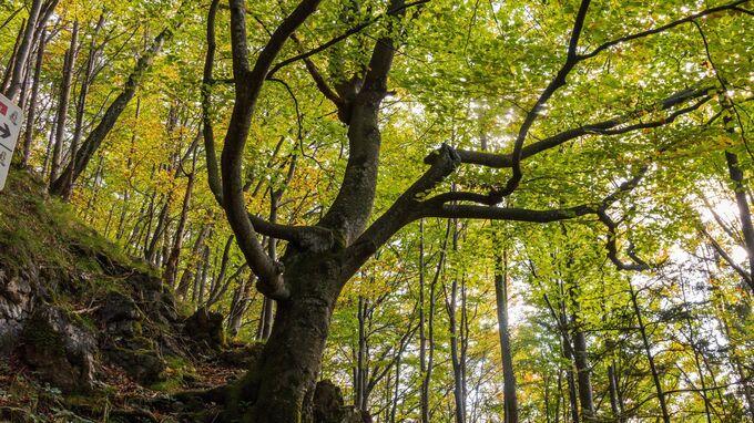 Ybbstaler Alpen, NÖ - Monumentbaum