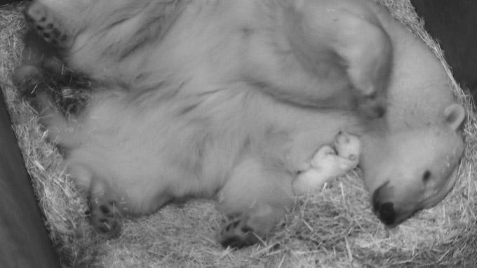 © Tiergarten Schönbrunn / Eisbär-Nachwuchs / Zum Vergrößern auf das Bild klicken