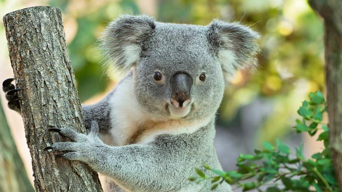 © Daniel Zupanc / Tiergarten Schönbrunn, Wien - Koala-Männchen Wirri Wirri / Zum Vergrößern auf das Bild klicken