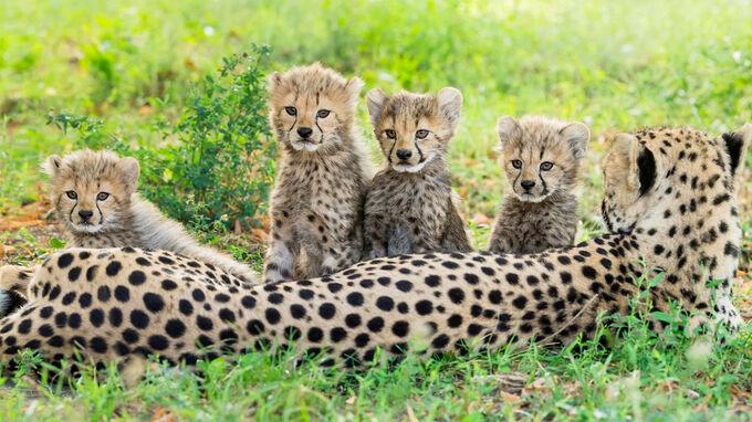 © Daniel Zupanc / Tiergarten Schönbrunn, Wien - Geparden-Nachwuchs / Zum Vergrößern auf das Bild klicken