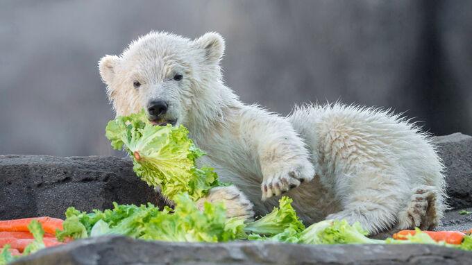 © Daniel Zupanc / Tiergarten Schönbrunn, Wien - Eisbär-Mädchen Finja im Gemüse / Zum Vergrößern auf das Bild klicken