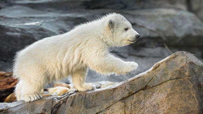 © Daniel Zupanc / Tiergarten Schönbrunn, Wien - Eisbären-Baby3 / Zum Vergrößern auf das Bild klicken
