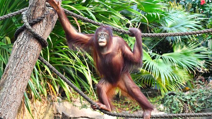 © Zoo Rostock / Joachim Kloock / Orang-Utan Surya in Rostock3 / Zum Vergrößern auf das Bild klicken