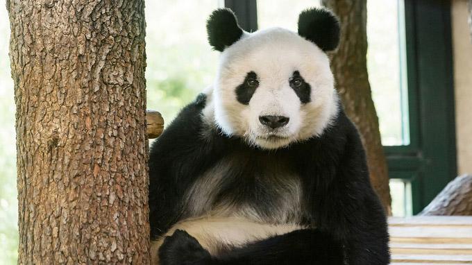 © Daniel Zupanc / Tiergarten Schönbrunn, Wien - YuanYuan1 / Zum Vergrößern auf das Bild klicken
