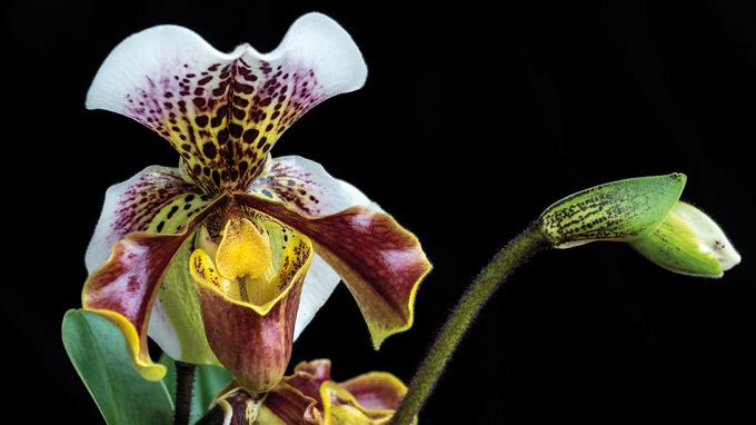 © Stift Klosterneuburg / Stift Klosterneuburg - Orchideen-Ausstellung Frauenschuh / Zum Vergrößern auf das Bild klicken