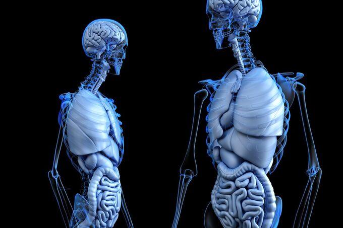 © pixabay.com / www_slon_pics / Anatomical / Zum Vergrößern auf das Bild klicken