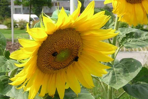 Sonnenblumen mit Hummeln