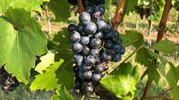 Rote Weintraube auf Rebe