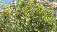 © Edith Köchl, Wien / Kalabrien, Italien - Zitronenbaum / Zum Vergrößern auf das Bild klicken