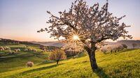 Frick im Aargau, CH - Kirschblüte