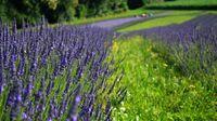 Südsteiermark - Lavendelfelder