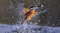 © Toerisme Flevoland / Nationalpark Nieuw Land Flevoland, NL - Eisvogel / Zum Vergrößern auf das Bild klicken