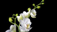 © Stift Klosterneuburg / Stift Klosterneuburg, NÖ - Orchidee_Phalaenopsis / Zum Vergrößern auf das Bild klicken