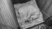© Tiergarten Schönbrunn / Eisbär-Baby / Zum Vergrößern auf das Bild klicken
