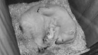 © Tiergarten Schönbrunn / Eisbärjunges / Zum Vergrößern auf das Bild klicken