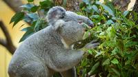 © Daniel Zupanc / Tiergarten Schönbrunn, Wien - Koala-Männchen / Zum Vergrößern auf das Bild klicken