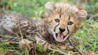 © Daniel Zupanc / Tiergarten Schönbrunn, Wien - Gepardenbaby / Zum Vergrößern auf das Bild klicken