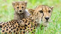 © Daniel Zupanc / Tiergarten Schönbrunn, Wien - Geparden / Zum Vergrößern auf das Bild klicken
