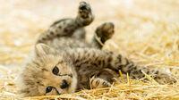 © Daniel Zupanc / Verspielter Gepardennachwuchs / Zum Vergrößern auf das Bild klicken