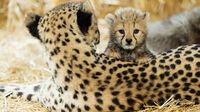 © Daniel Zupanc / Gepardenbaby mit Gepardin / Zum Vergrößern auf das Bild klicken