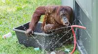 © Daniel Zupanc / Tiergarten Schönbrunn, Wien - Orang-Utan Sol / Zum Vergrößern auf das Bild klicken