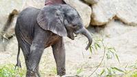 © Daniel Zupanc / Tiergarten Schönbrunn, Wien - Elefantenmädl Kibali / Zum Vergrößern auf das Bild klicken