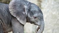 © Daniel Zupanc / Tiergarten Schönbrunn, Wien - Elefantenmädchen Kibali / Zum Vergrößern auf das Bild klicken